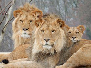 nieuws zooparc komst leeuwen