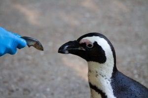zoo programma pinguïns voedering