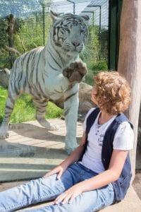 zooparc-jongen-witte-tijger