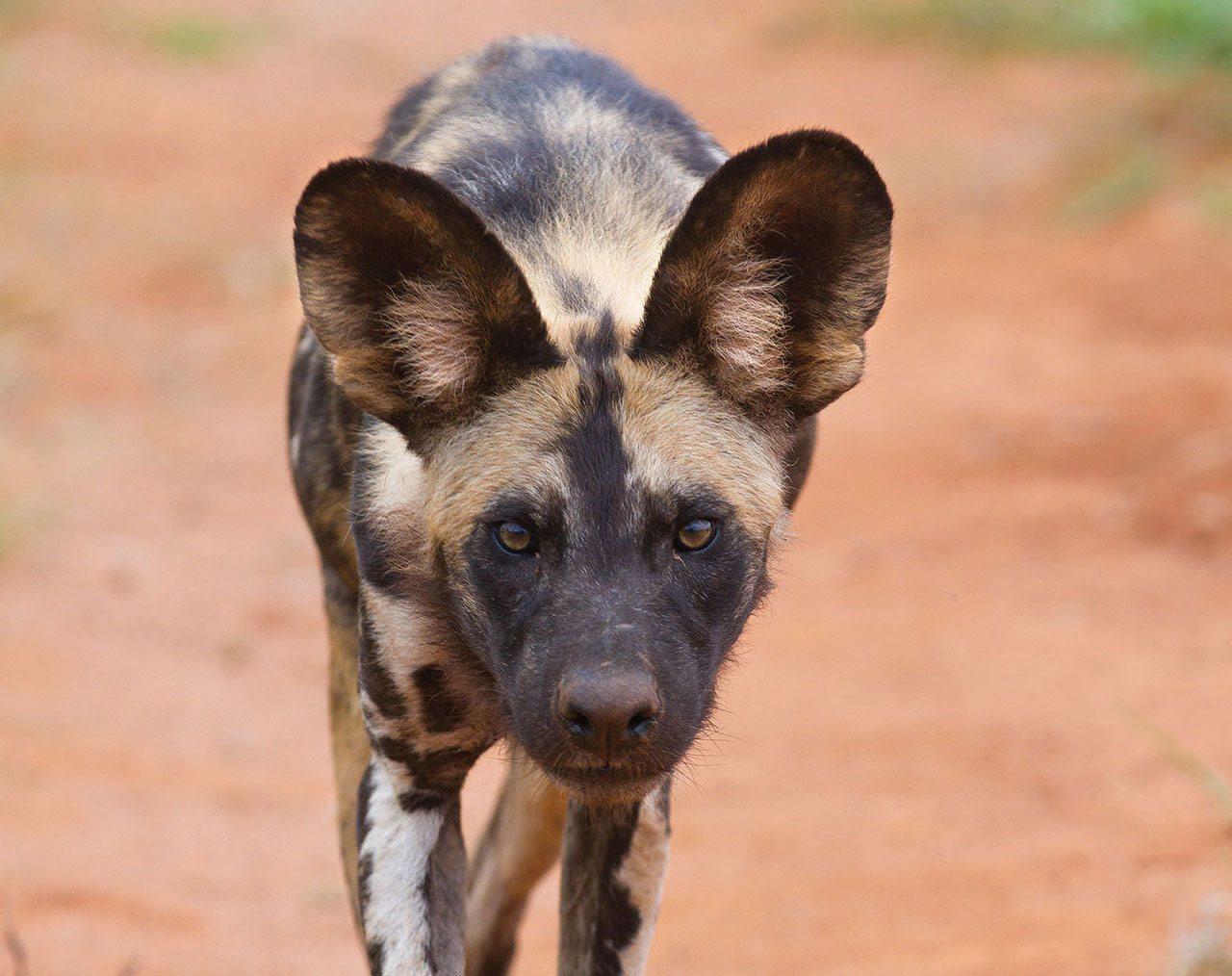 Afrikaanse Wilde Hond Dieren Van Zooparc Overloon