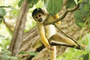 dieren zooparc boliviaanse doodshoofdaap