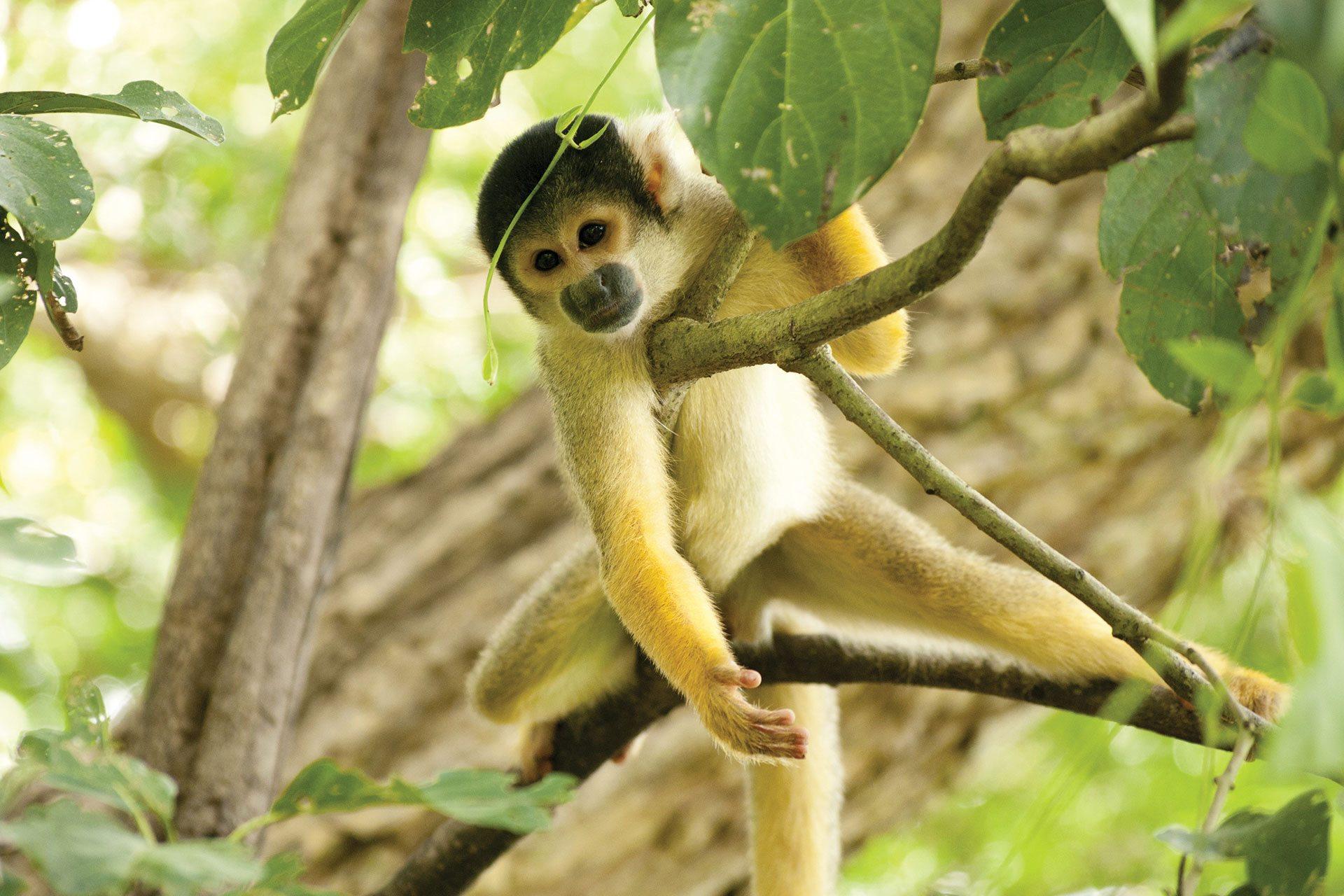 Boliviaanse Doodshoofdaap Dieren Van Zooparc Overloon