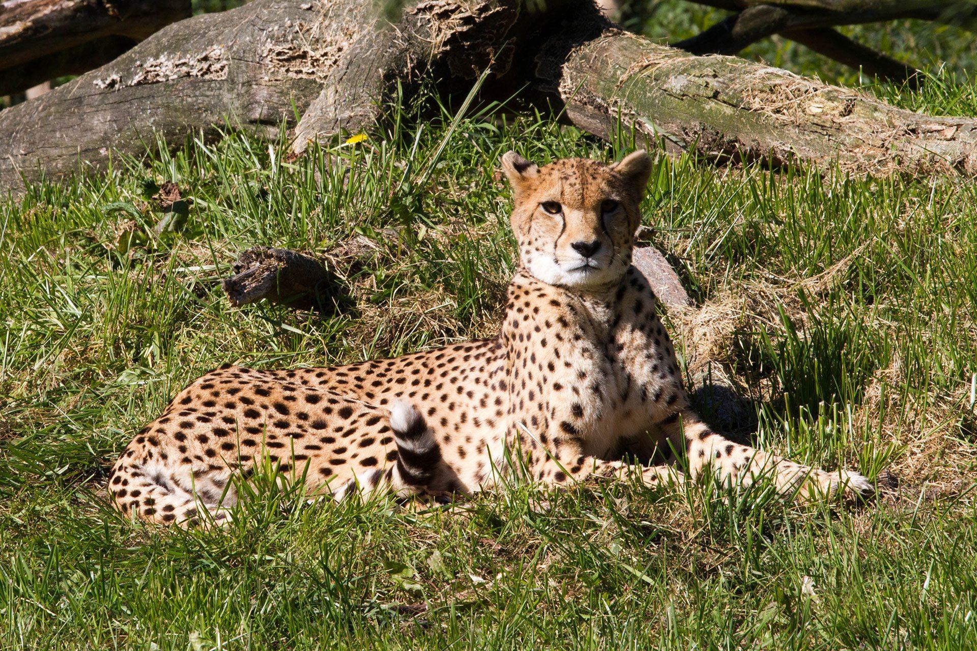Cheetah Dieren Van Zooparc Overloon