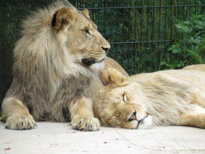 ngorongoro-leeuwen