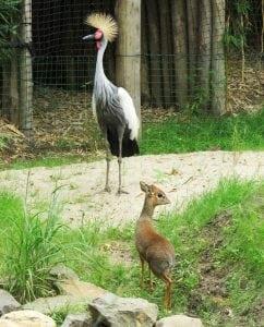 Kirk's dik-dik en grijze kroonkraanvogel in ZooParc
