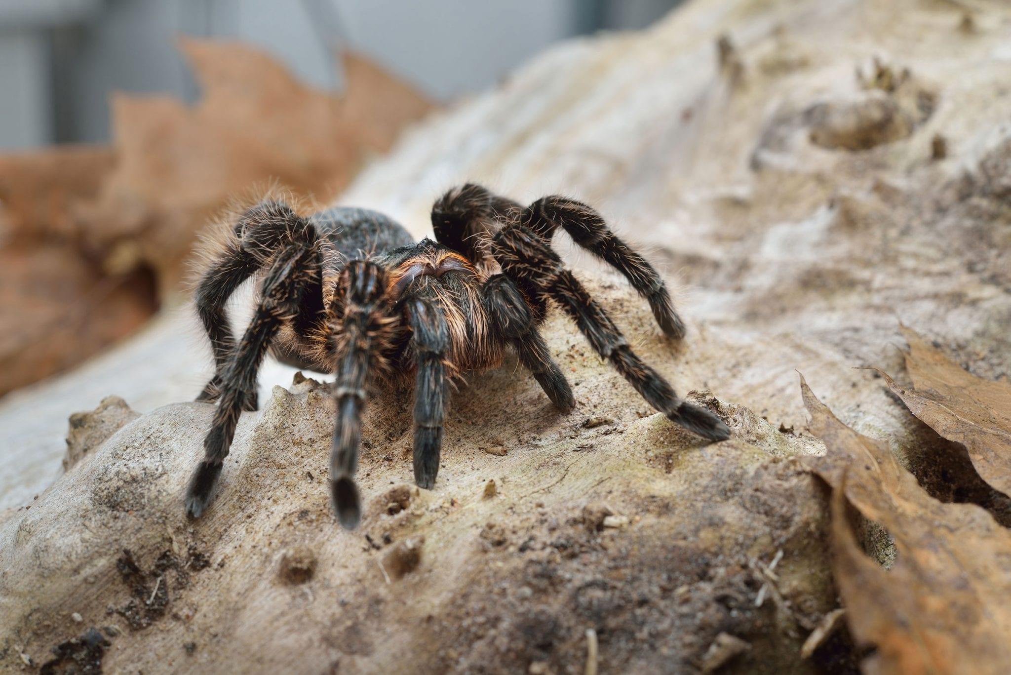 Kleurplaten Vogelspinnen.Braziliaanse Krulhaar Vogelspin Dieren Van Zooparc Overloon