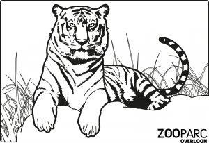 Kleurplaat ZooParc Tijger